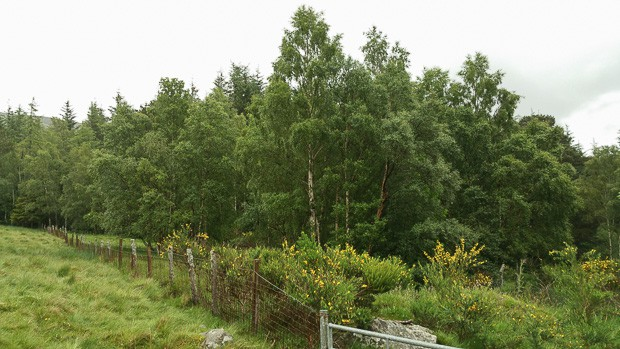 View of tree line coming out of the forest at the start of the Loch Brandy path and leaving the Forestry Commission area.