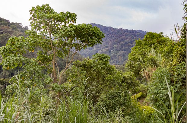View of forest and trees from our accomodation in Gorilla Valley Lodge Uganda.