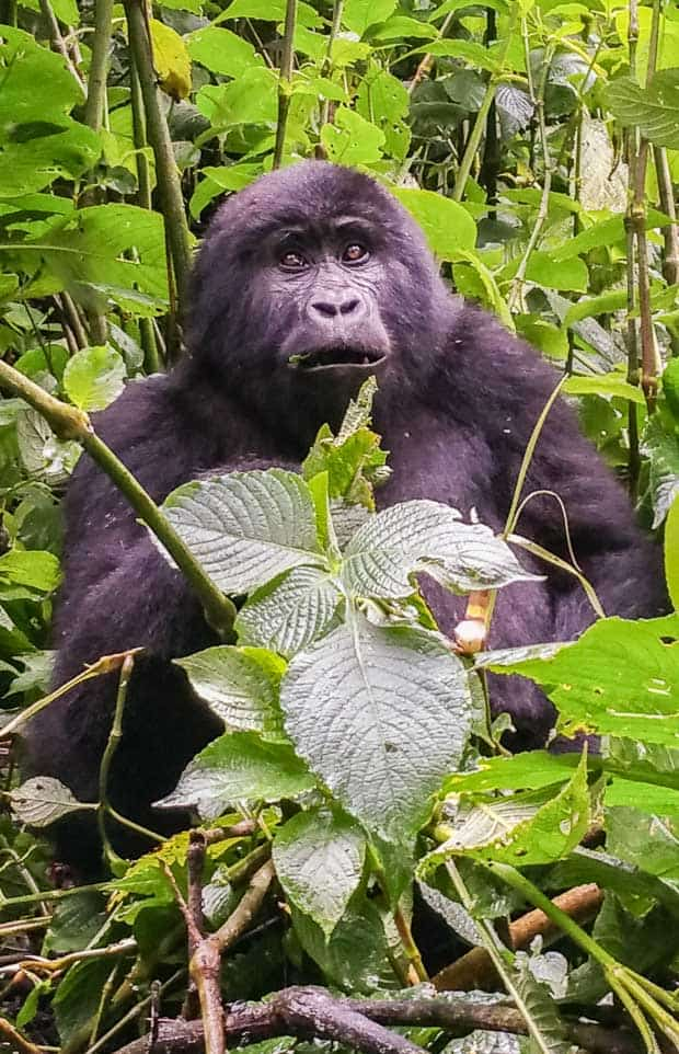 Nearly full view of a three year old gorillan in Uganda. Partly obscured by a leaf.