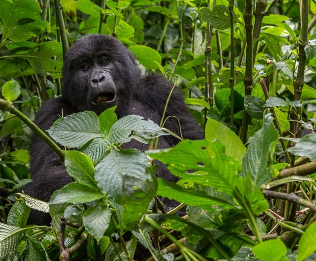A three year old gorilla in Bwindi National Park eating some leaves.