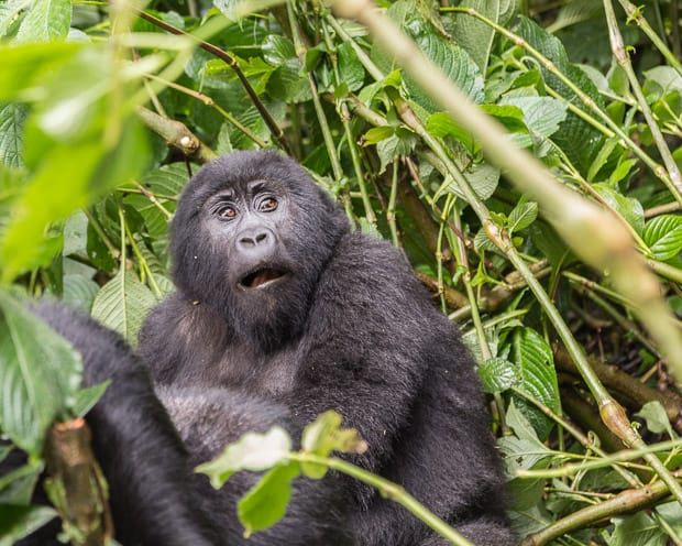 A three year old gorilla as seen in Uganda in Bwindi Impenetrable National Forest Park.