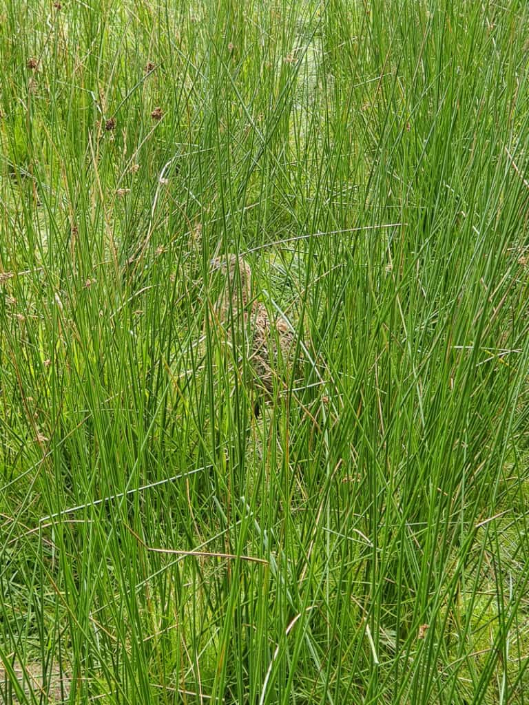Grouse hiding in the field of long grass.